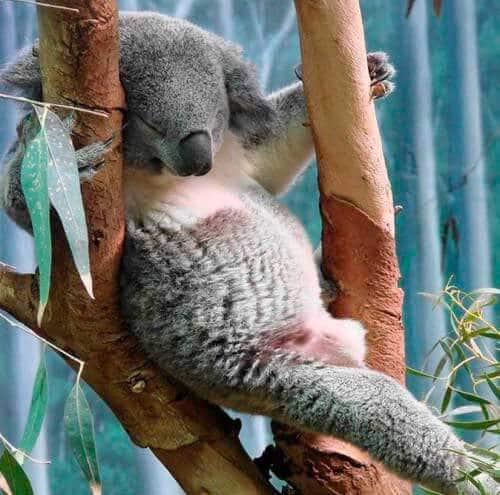 Спящий детеныш коала