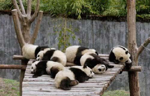 Спящие детеныши панды