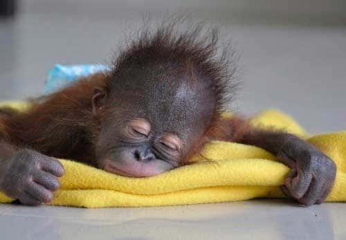 Спящий детеныш орангутана